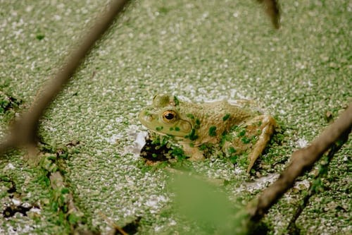 Green bullfrog sitting in a still pond of duckweed