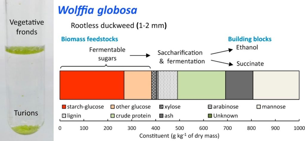 Ethanol and succinate production from Wolffia globosa