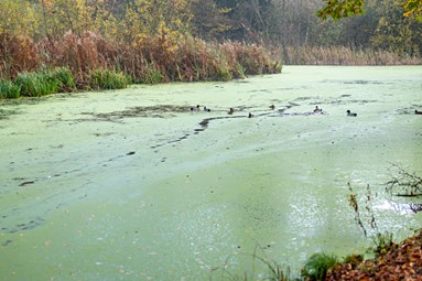 Duckweed covering a lake.